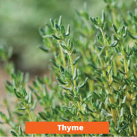 Thyme Low maintenance and kid friendly plants