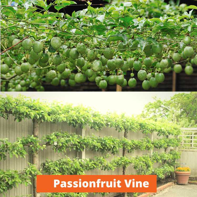 Passionfruit Vine Low maintenance and kid friendly plants