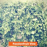 Passionfruit Vine Low maintenance and kid friendly plants