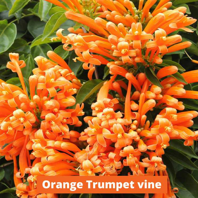 Orange Trumpet Vine Low maintenance and kid friendly plants