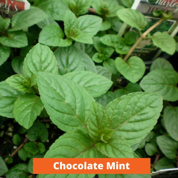 Chocolate Mint Low maintenance and kid friendly plants