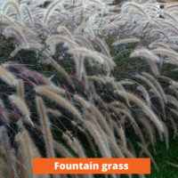 Fountain Grass Low maintenance and kid friendly plants