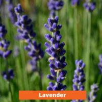 Lavender Low maintenance and kid friendly plants