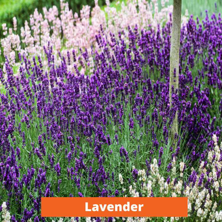 Lavender Low maintenance and kid friendly plants