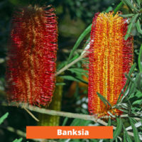 Banksia Low maintenance and kid friendly plants