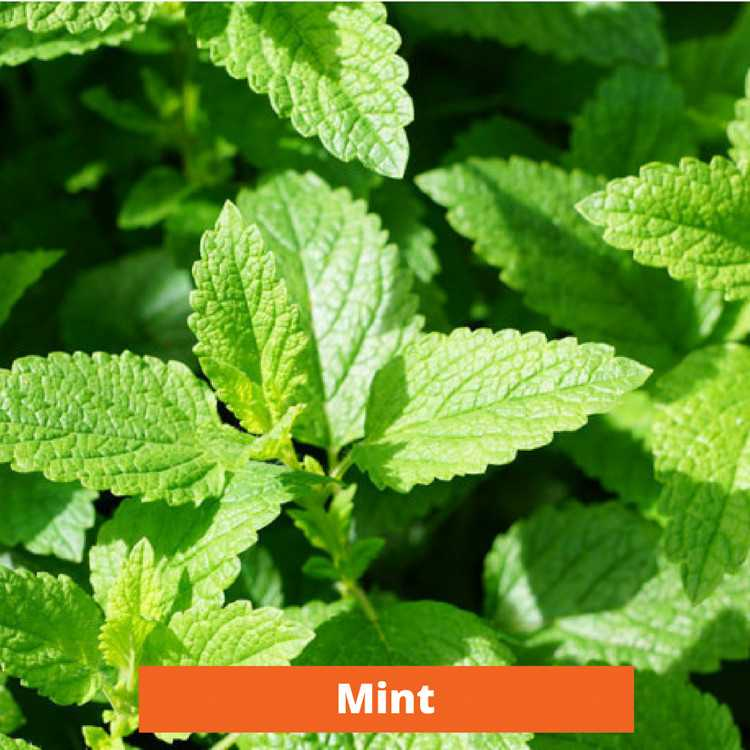 Mint Low maintenance and kid friendly plants
