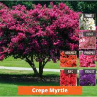 Crepe Myrtle Low maintenance and kid friendly plants