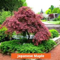 Japanese Maple Low maintenance and kid friendly plants
