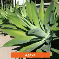 Agave Low maintenance and kid friendly plants