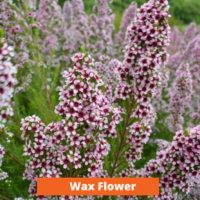 Wax Flower Low maintenance and kid friendly plants