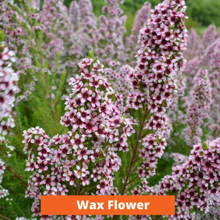 Wax Flower Low maintenance and kid friendly plants