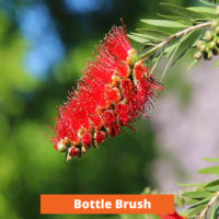 Bottle Brush Low maintenance and kid friendly plants