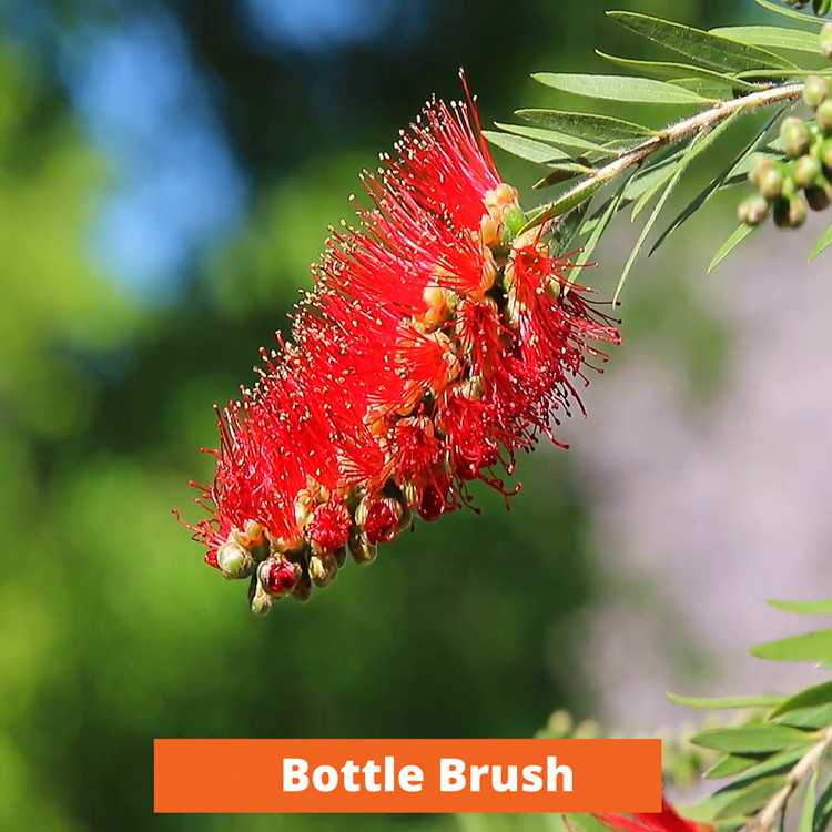 Bottle Brush Low maintenance and kid friendly plants