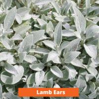 Lamb Ears Low maintenance and kid friendly plants
