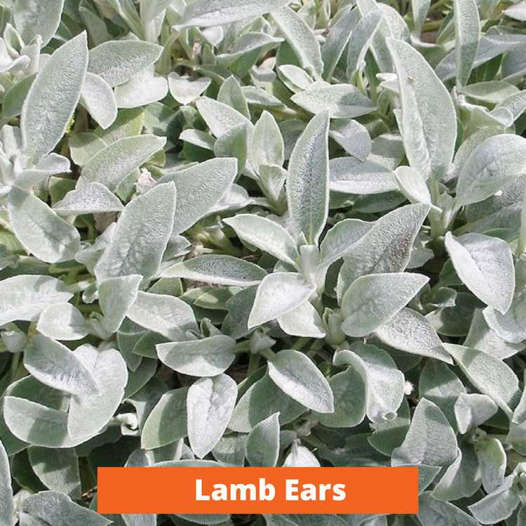 Lamb Ears Low maintenance and kid friendly plants