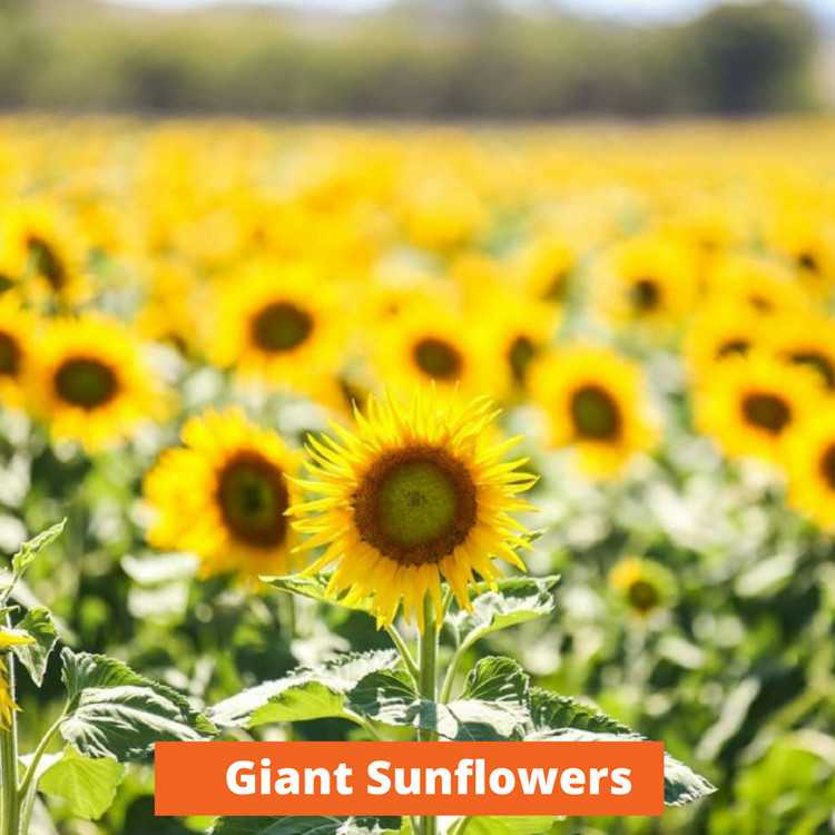 Giant Sunflowers Low maintenance and kid friendly plants