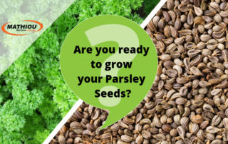 How to grow parsley seeds