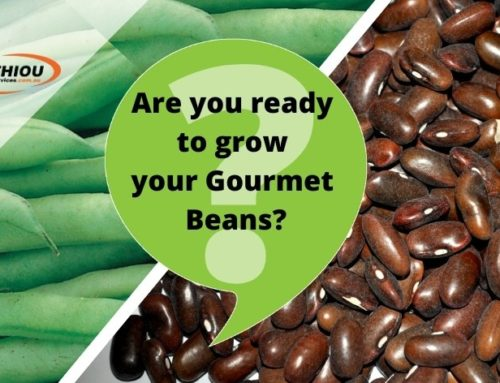 How to grow gourmet beans