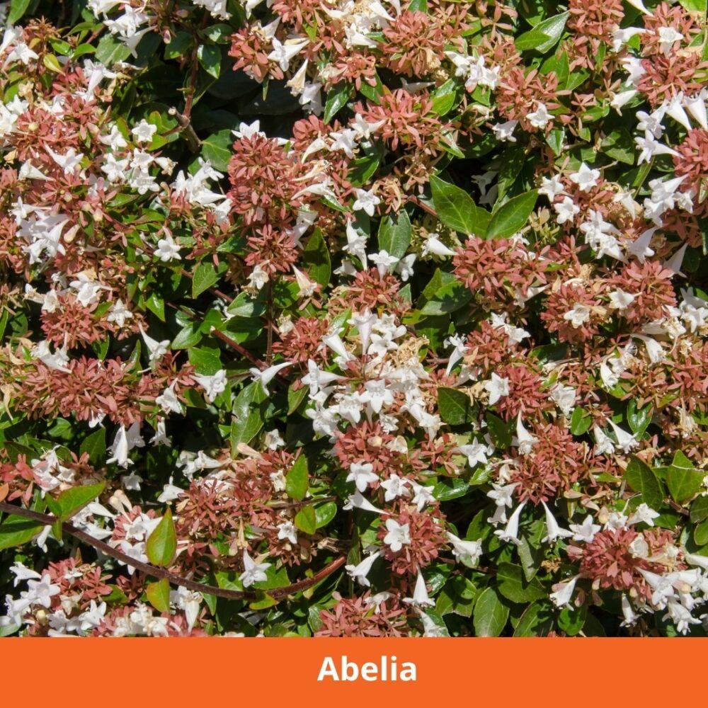 Abelia Plant that loves the sun