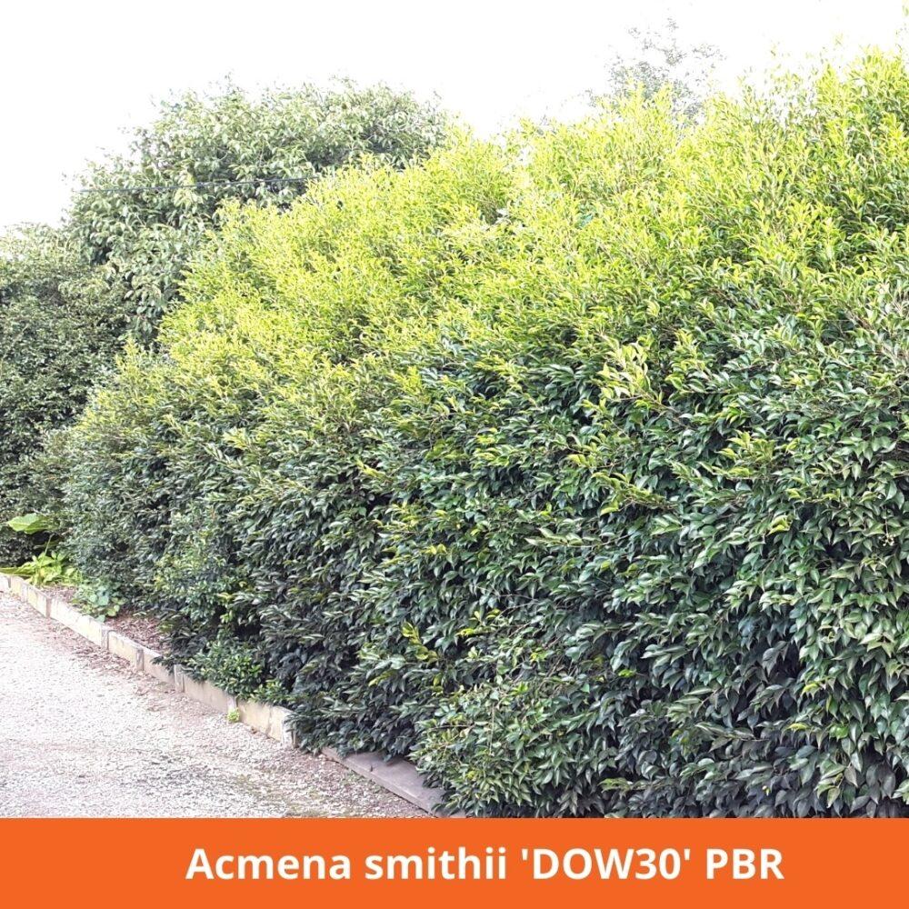 Acmena Smithii Hedge 'DOW30' PBR