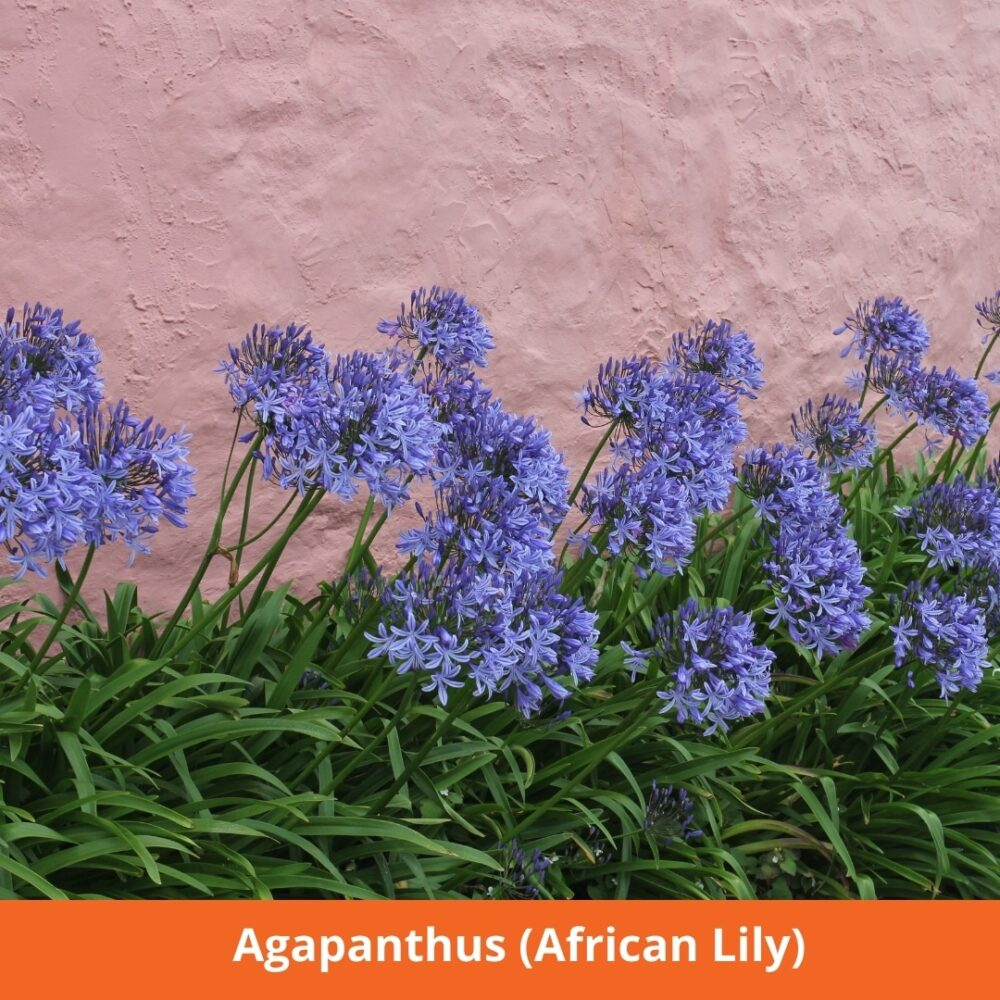 Agapanthus (African Lily) loves the sun