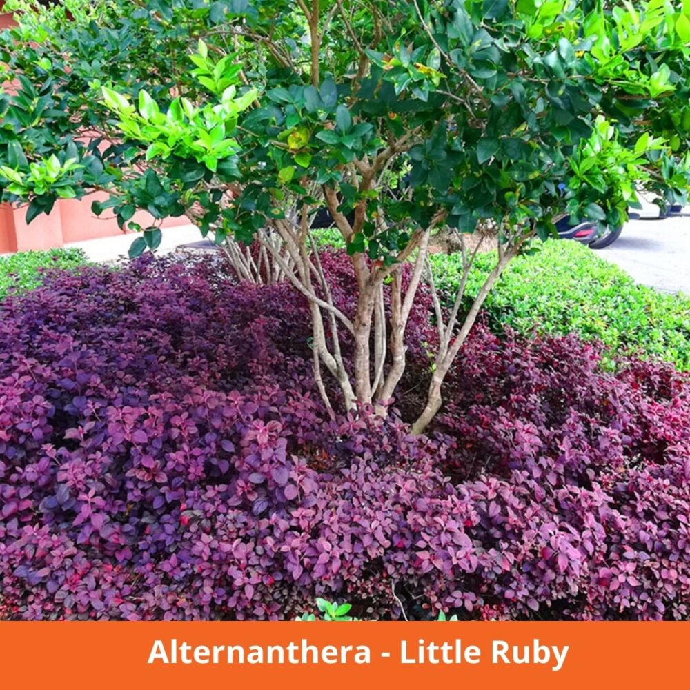 Alternanthera Little Ruby