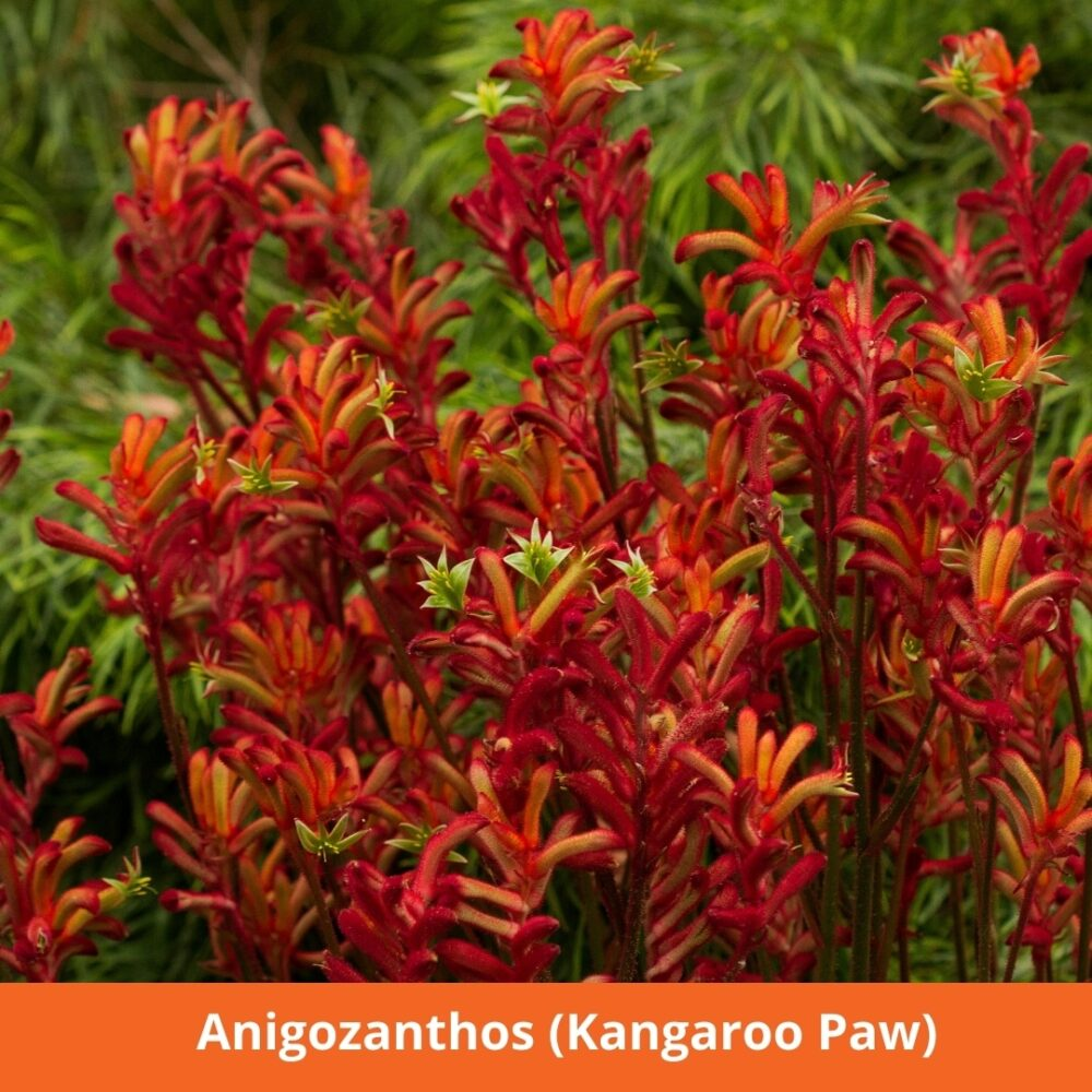 Anigozanthos (Kangaroo Paw)