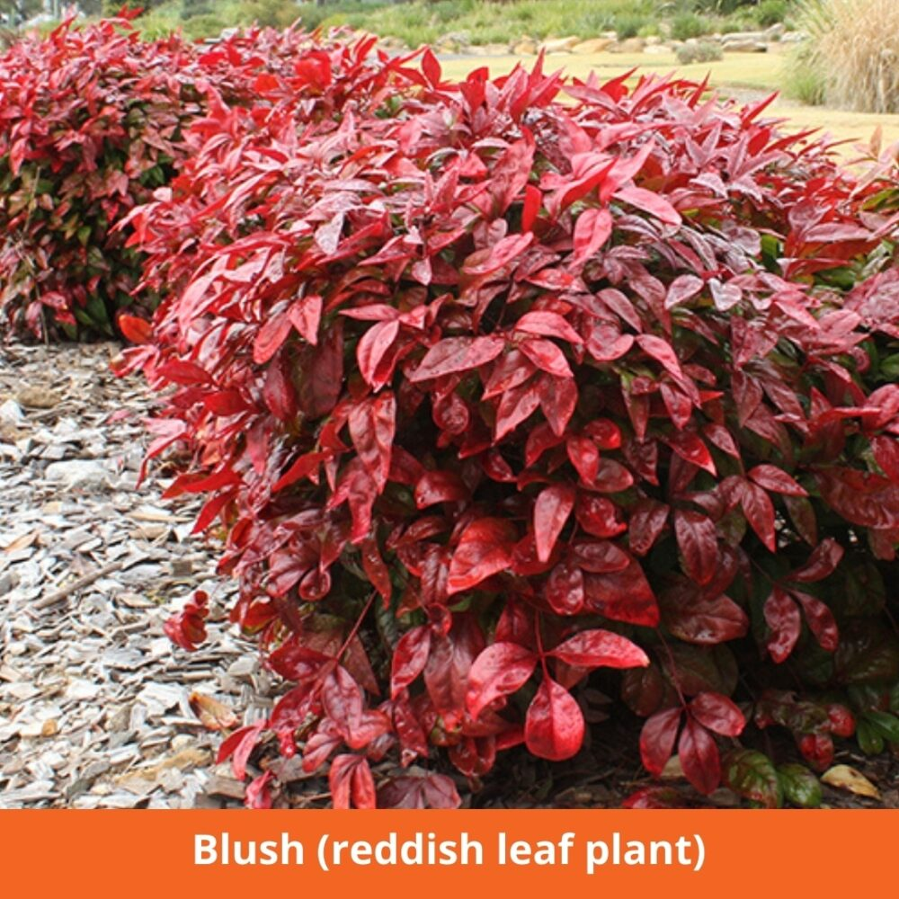 Blush (reddish leaf plant)