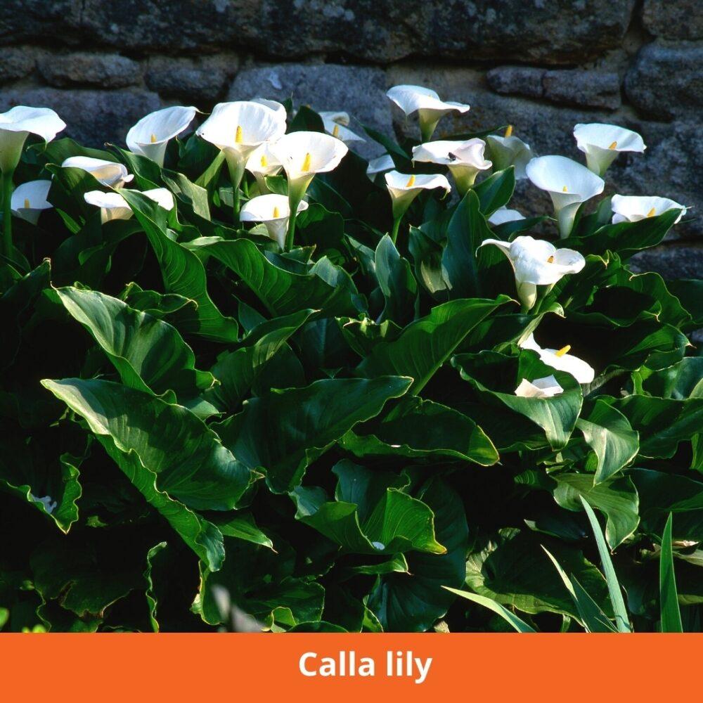 Calla lily Plants