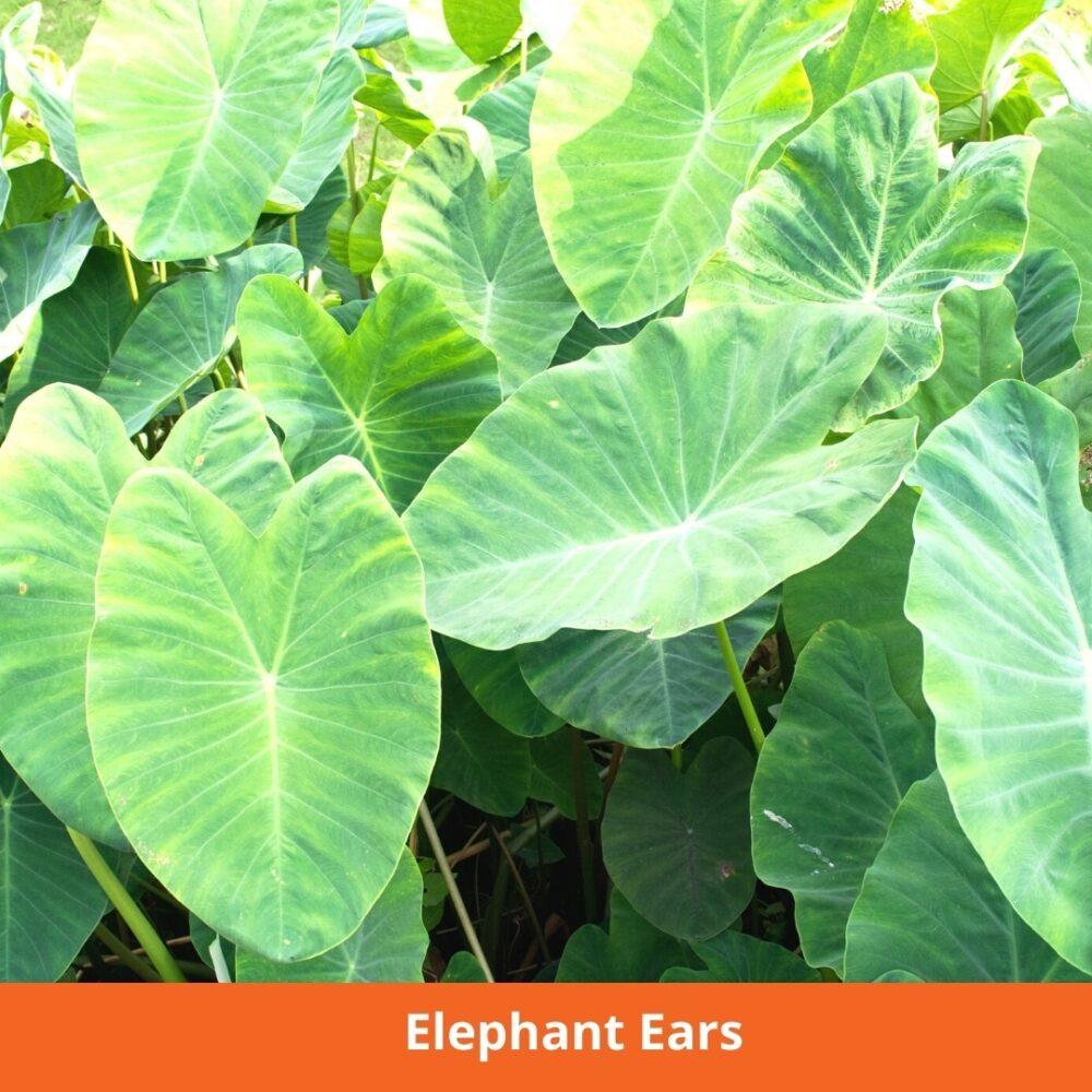 Elephant Ears Plants