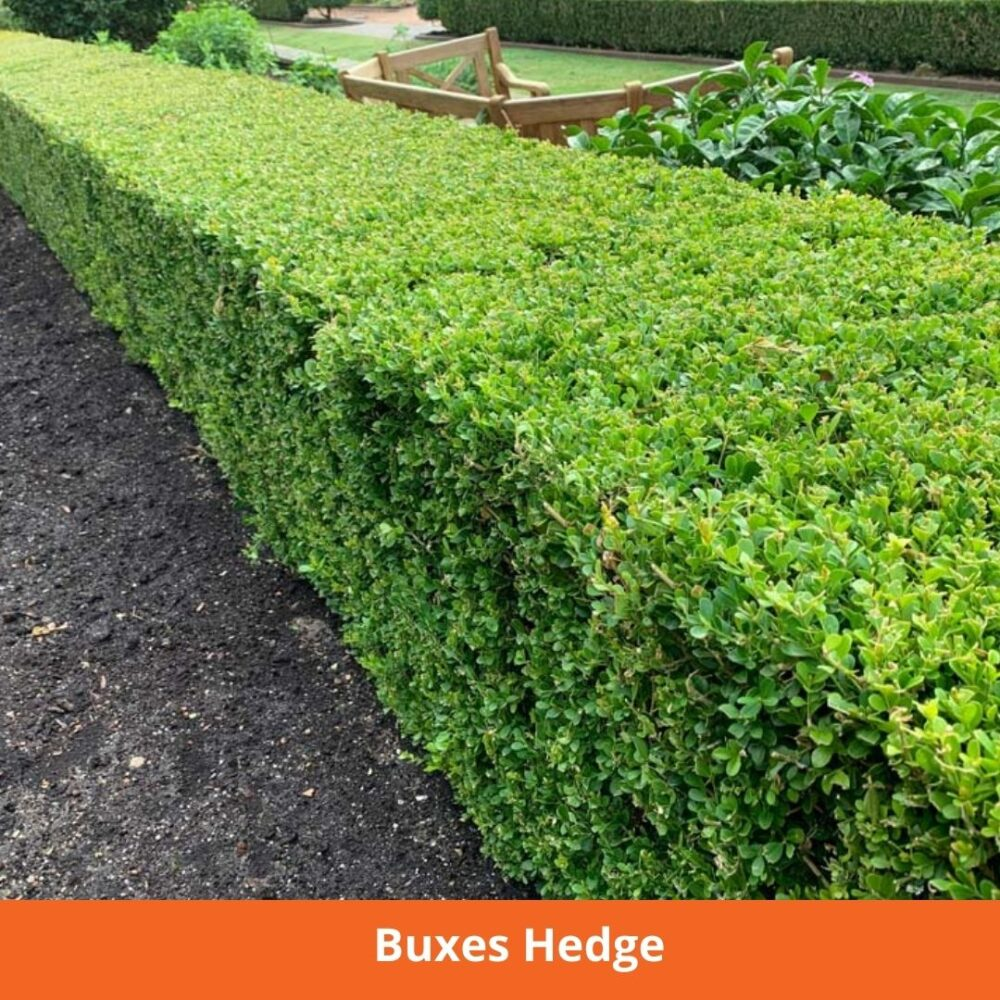 Buxes Hedge