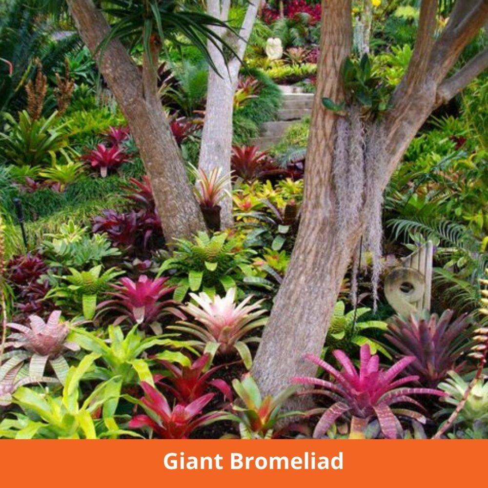 Giant Bromeliad plants