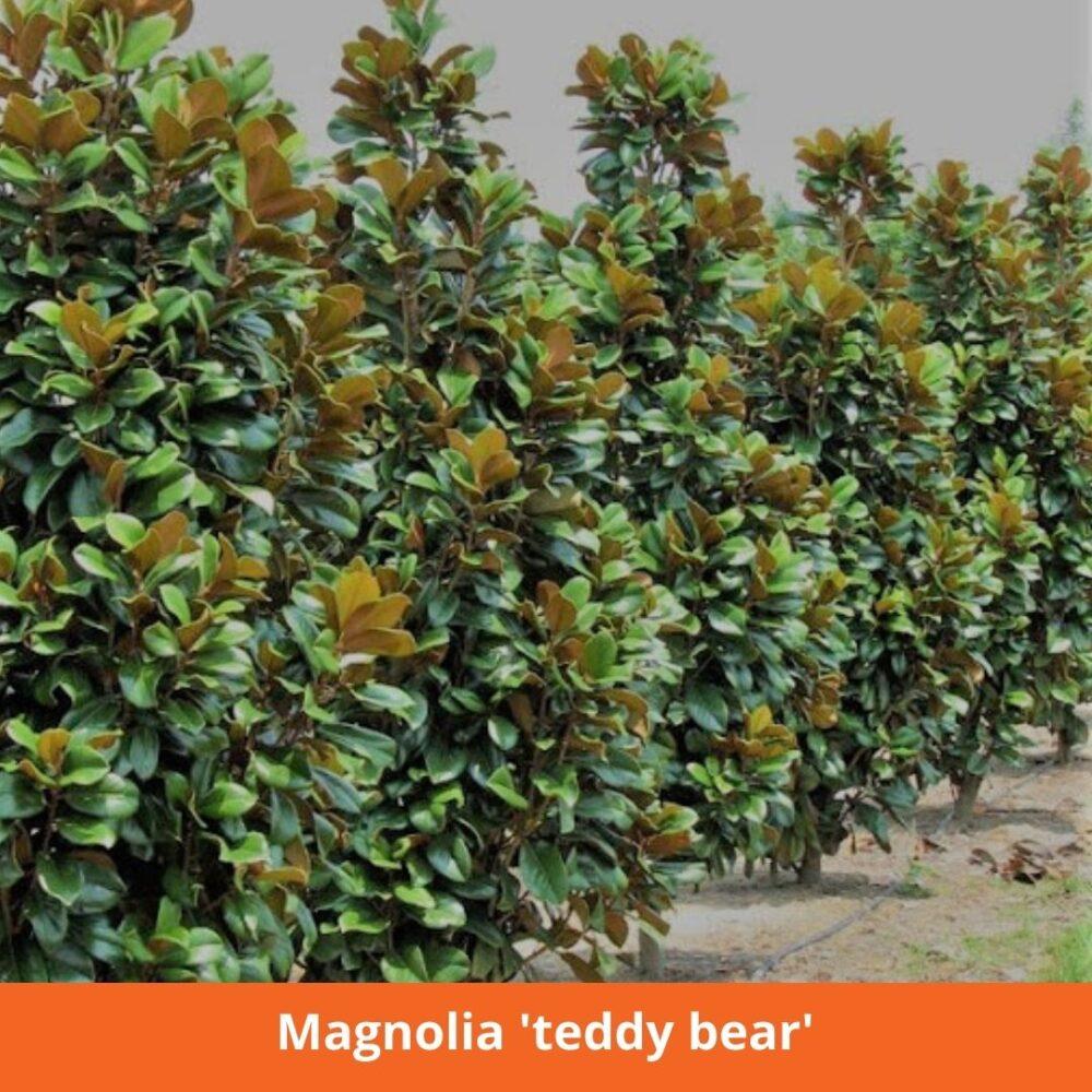 Magnolia teddy bear plants