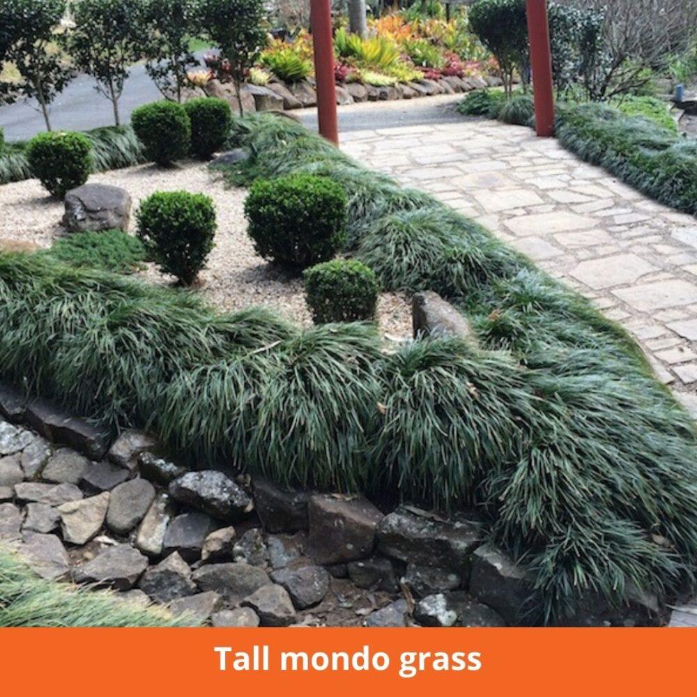 Tall Mondo grass