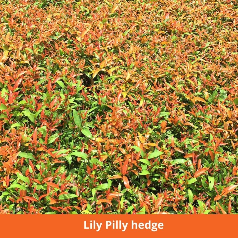Lily Pilli Hedge