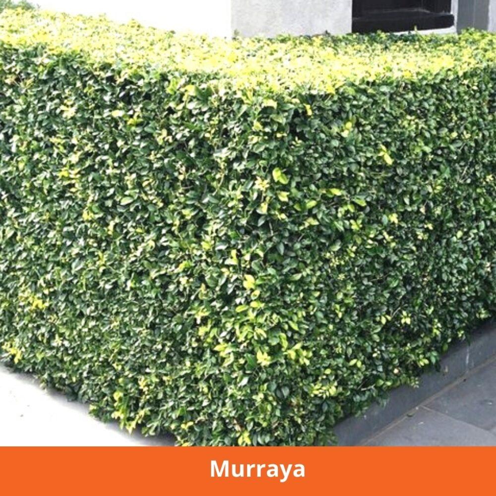 Murraya privacy hedge
