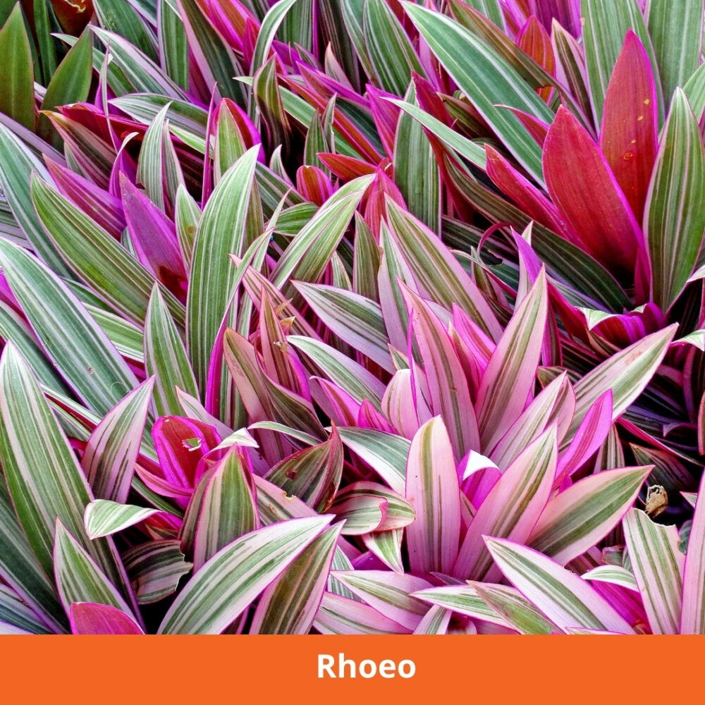 Rhoeo
