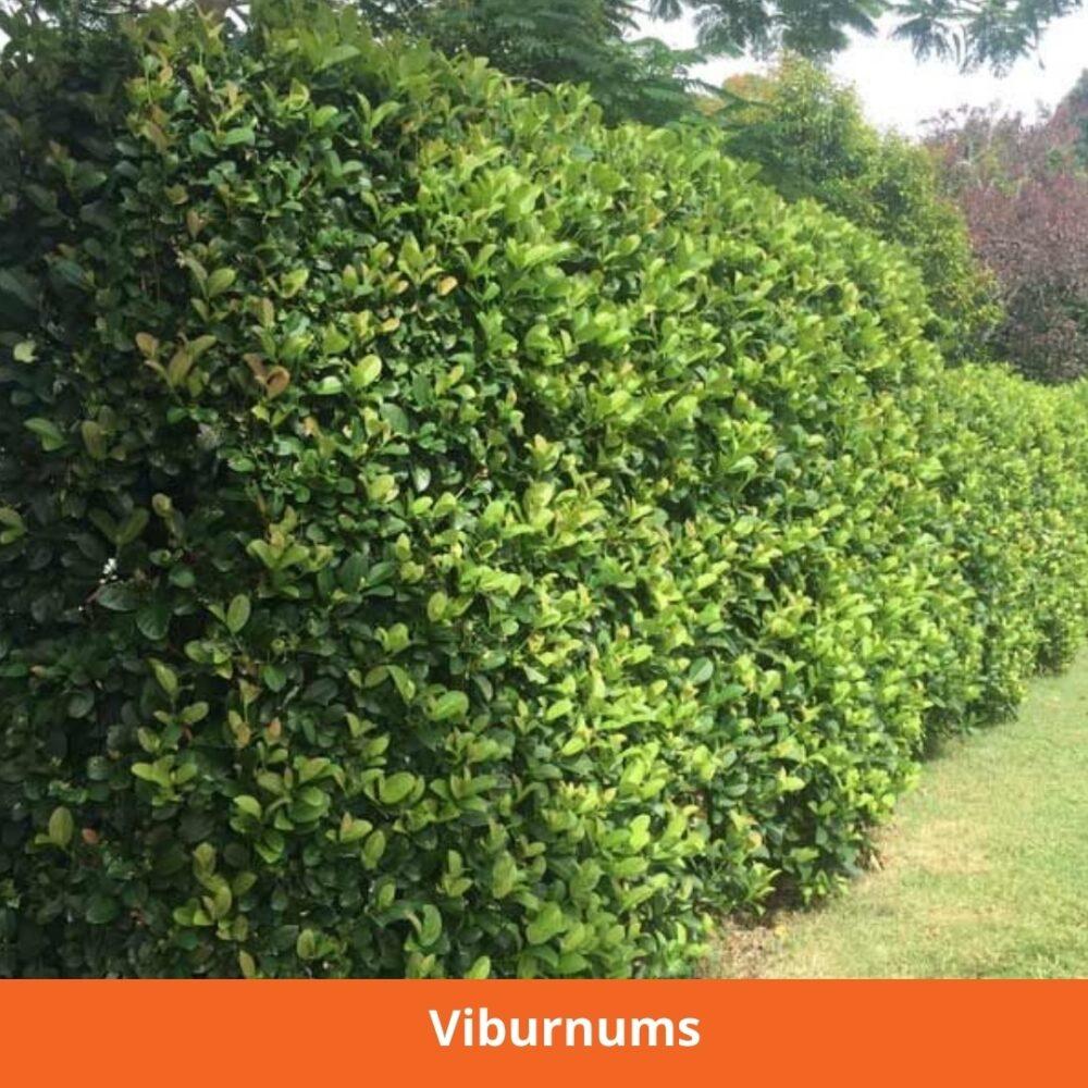 Privacy hedge Viburnums