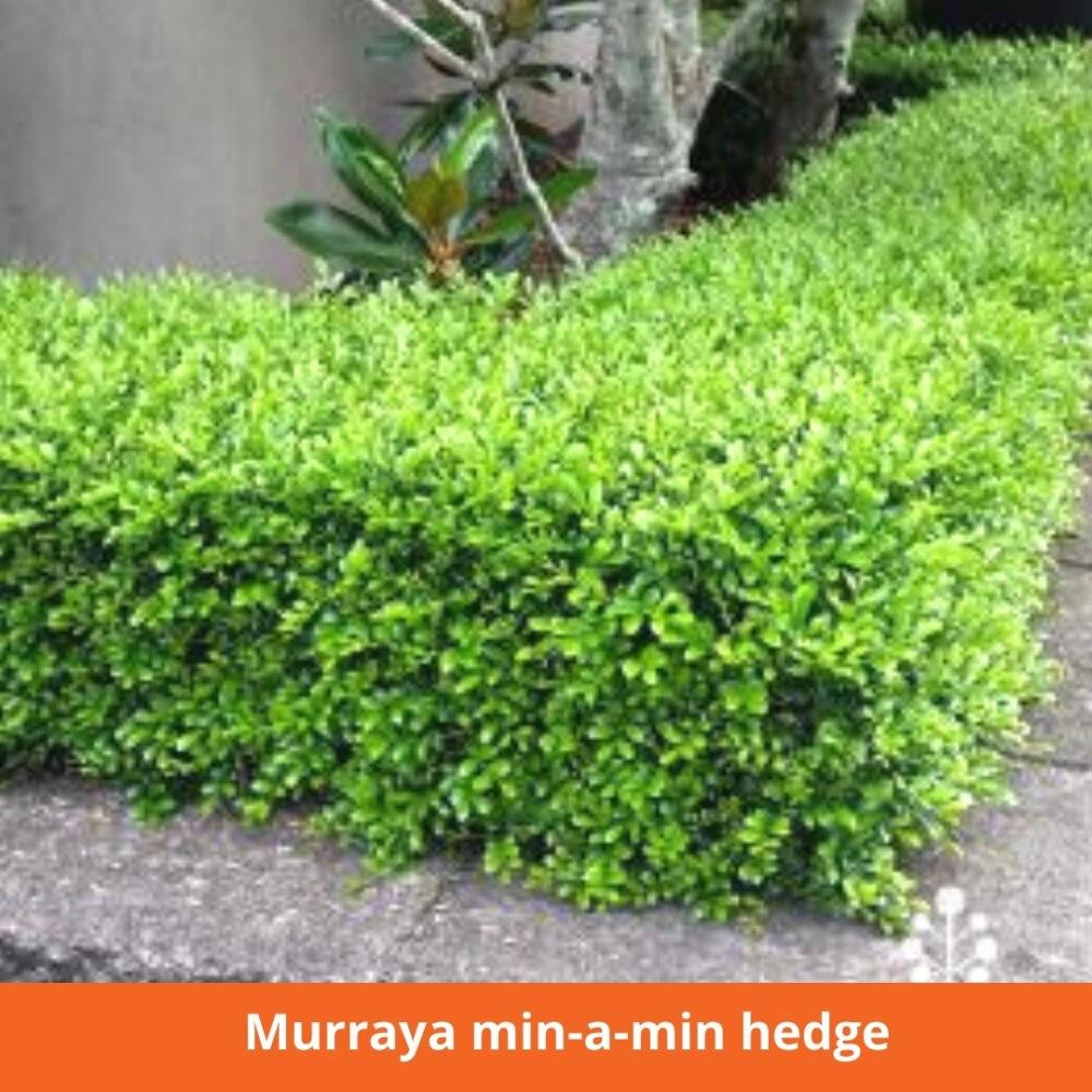 Murraya min a min hedge